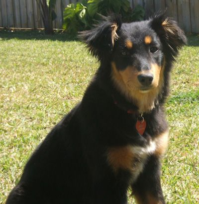 Dakotah Shepherd Information And Pictures Dakotah Shepherds English Shepherd Shepherd Dog Breeds Dogs