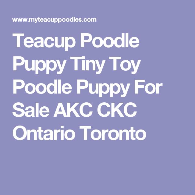 Teacup Poodle Puppy Tiny Toy Poodle Puppy For Sale Akc Ckc
