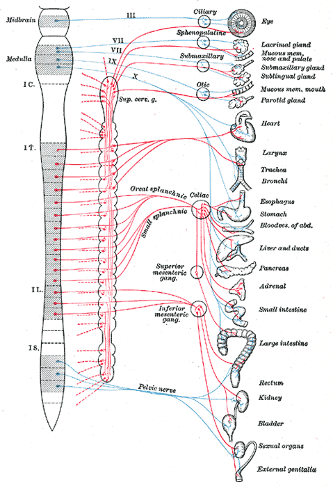 Gray839 - Sistema nervioso parasimpático - Wikipedia, la ...