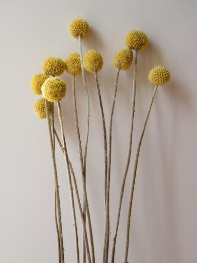 Billy Buttons Bunch Dry Flowers Craspedia 10 Stems In 2020 Dried Flower Arrangements Dried Flowers Diy Yellow Flower Arrangements