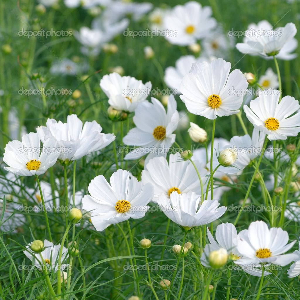 White Cosmos White Cosmo Late Summer Flowers Cosmos Flowers