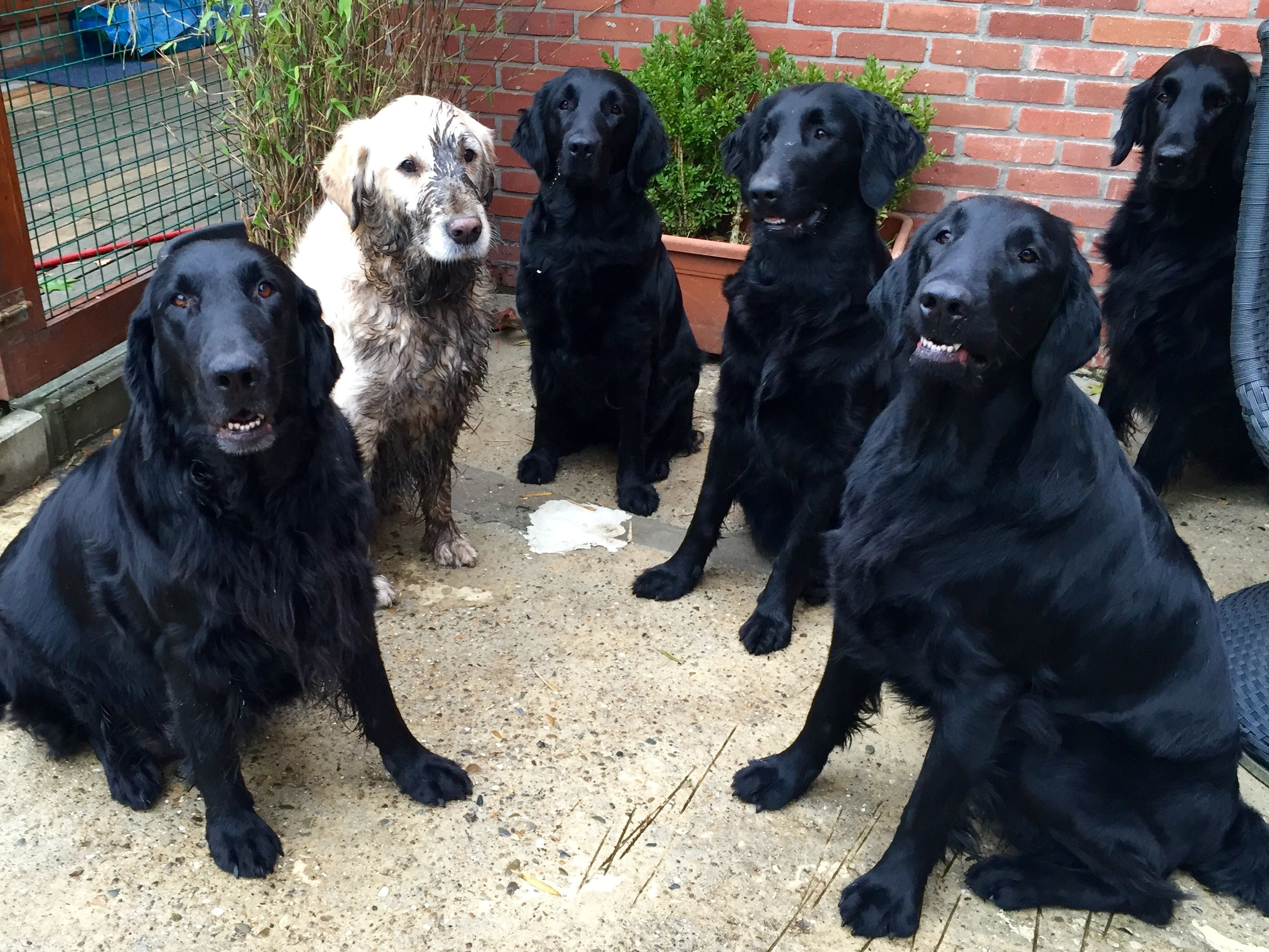Pin On Flat Coated Retriever