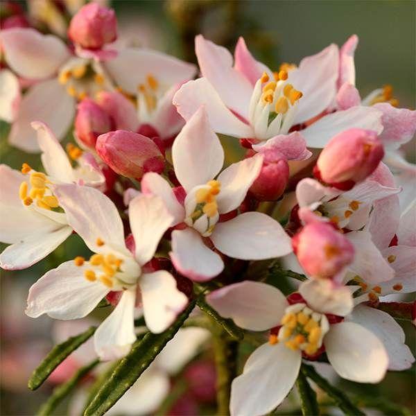 Small filler  Choisya ternata apple blossom ('Pmoore09') (PBR) Mexican orange blossom bicoloured flowers