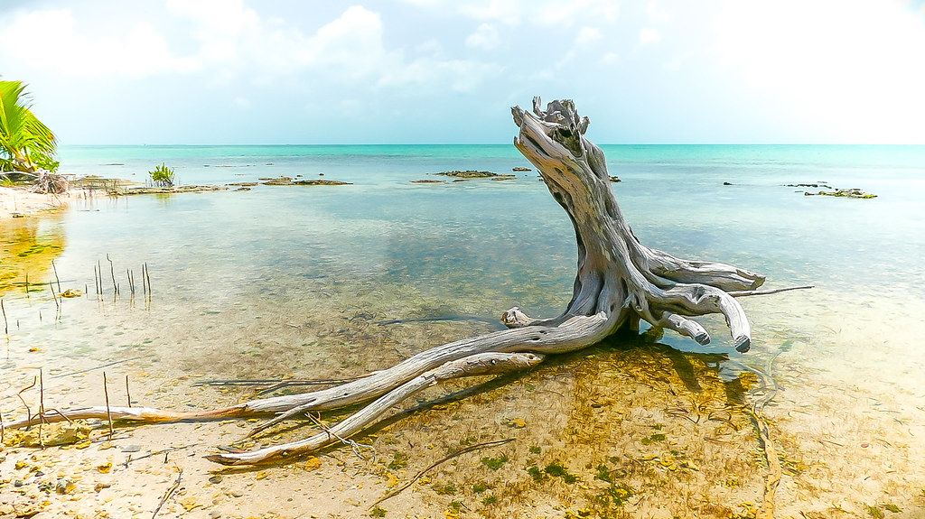 Bleached Tree Scorching HOT Day , San Pedro Belize