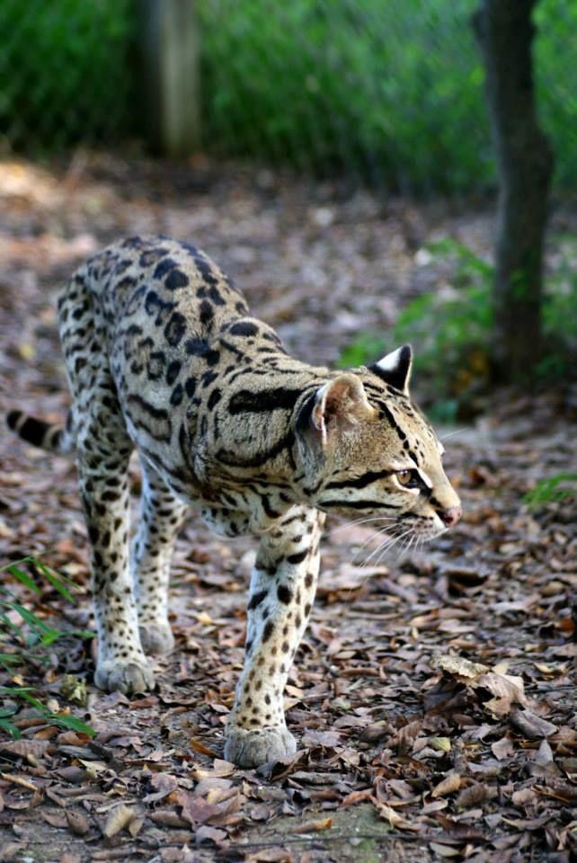 Rene Oscelot Wild cats, Animal parade, Animals