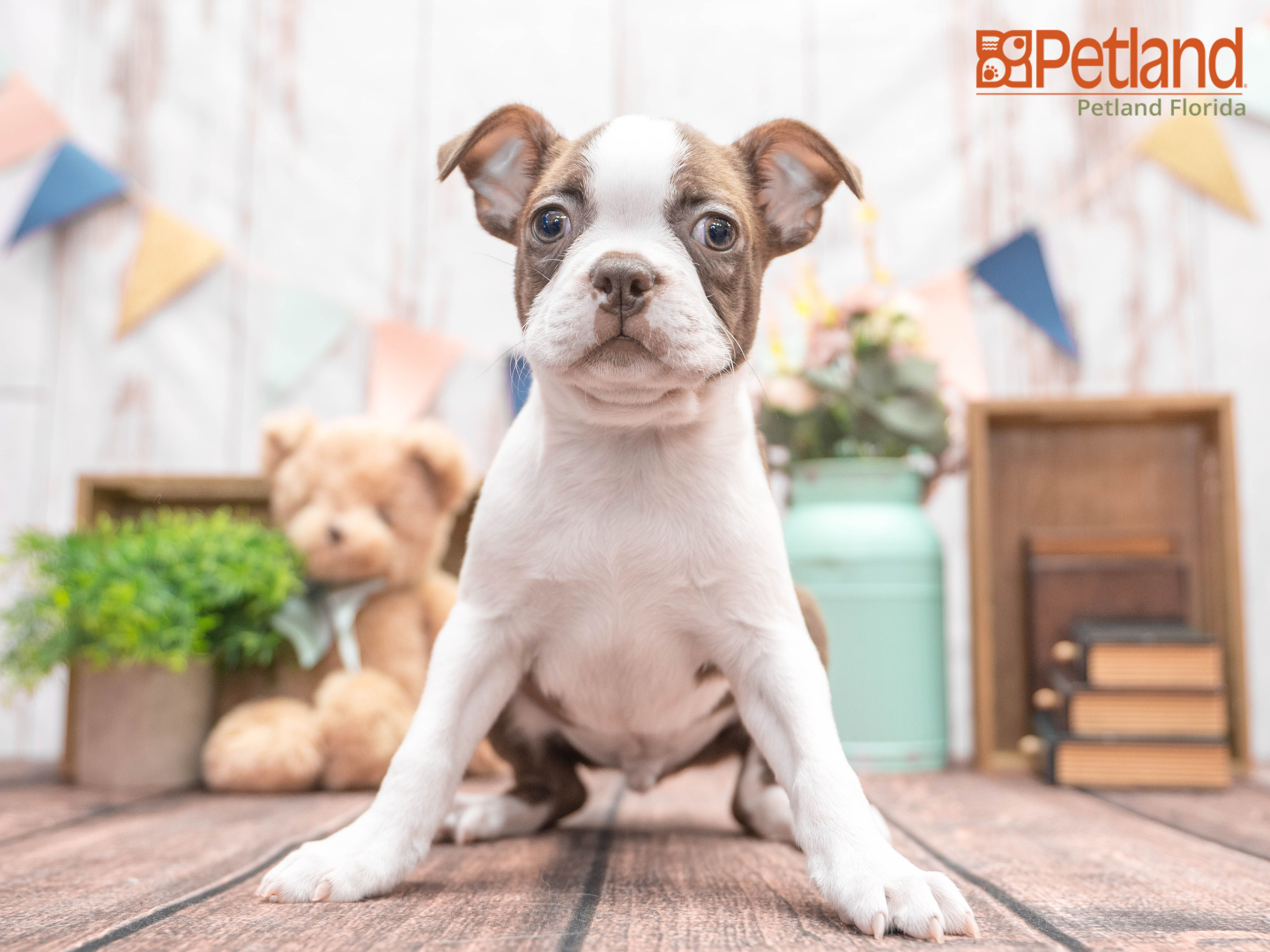 Petland Florida Has Boston Terrier Puppies For Sale Check Out All Our Available Puppies Bostonterrier Puppy D In 2020 Puppy Friends Boston Terrier Puppy Puppies