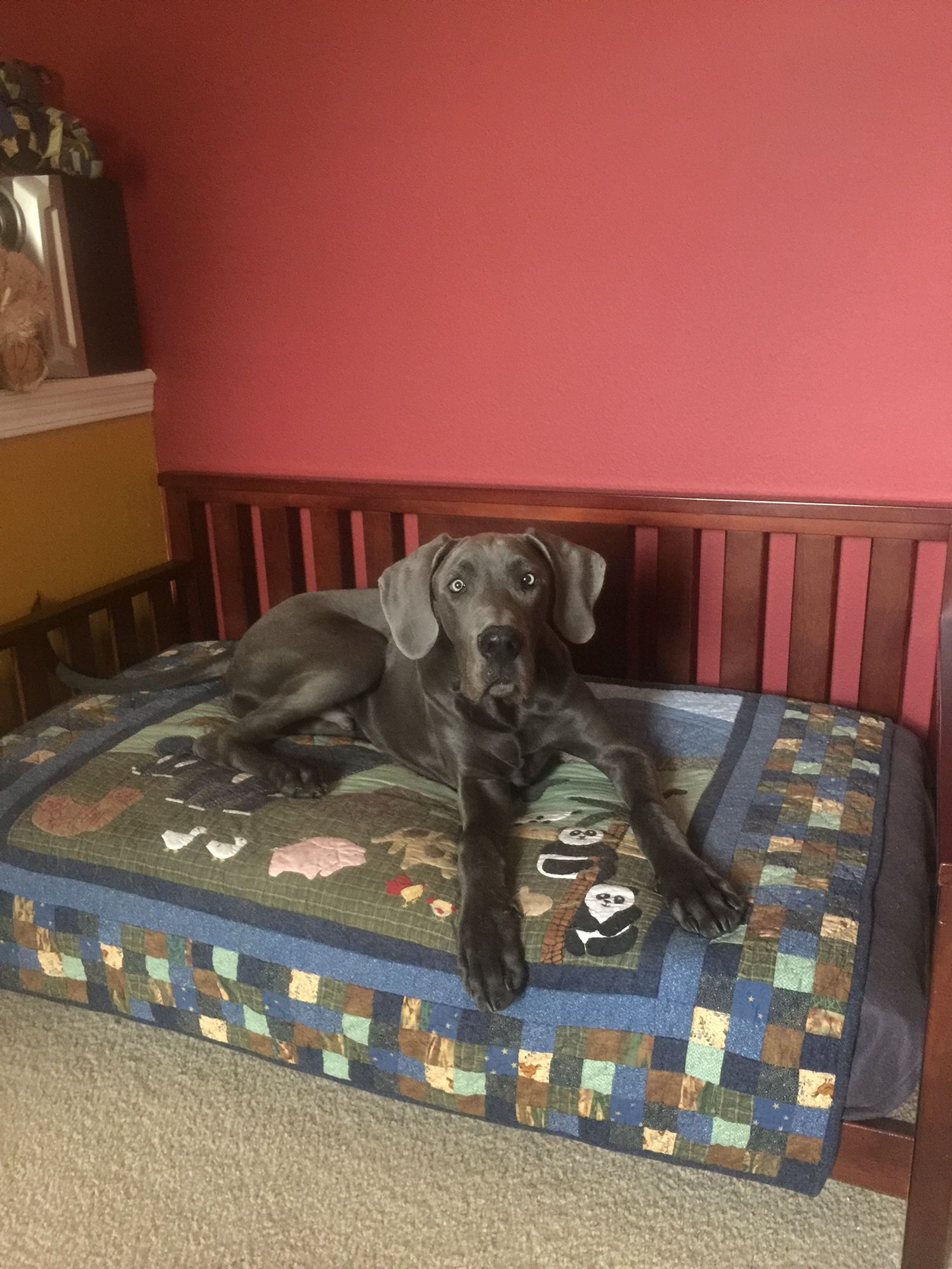 Great Dane Growing Into His Toddler Bed Big Dog Beds Cool Dog
