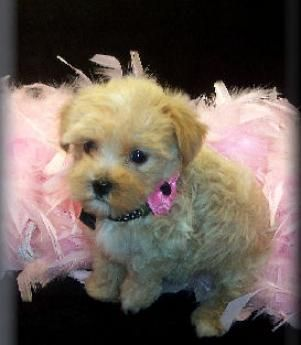 Tan Maltipoo Puppy Cute Baby Animals Maltipoo Puppies For Sale