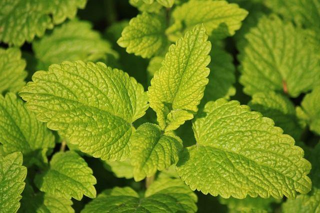 10-ervas-medicinais-que-curam-enfermidades-atraves-de-chas
