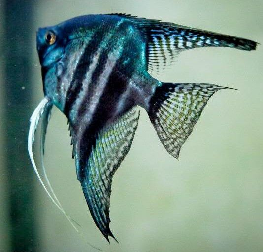 Pinoy blue zebra angelfish- what a beauty! would love to ...
