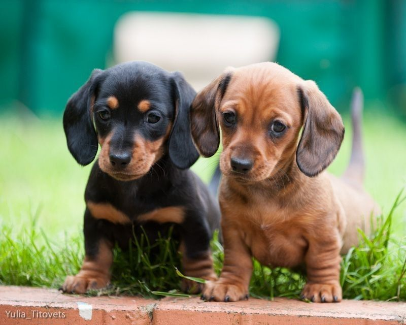 Dachshund Puppies For Sale Liver And Black Coats Healthy