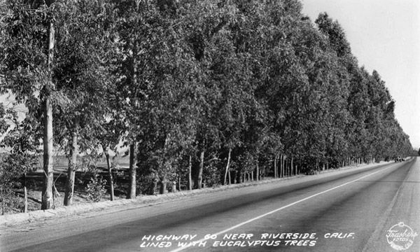 Eucalytpus trees line Highway 60 in Riverside, 1938. Courtesy of the Frasher Foto Postcard Collection, Pomona Public Library.