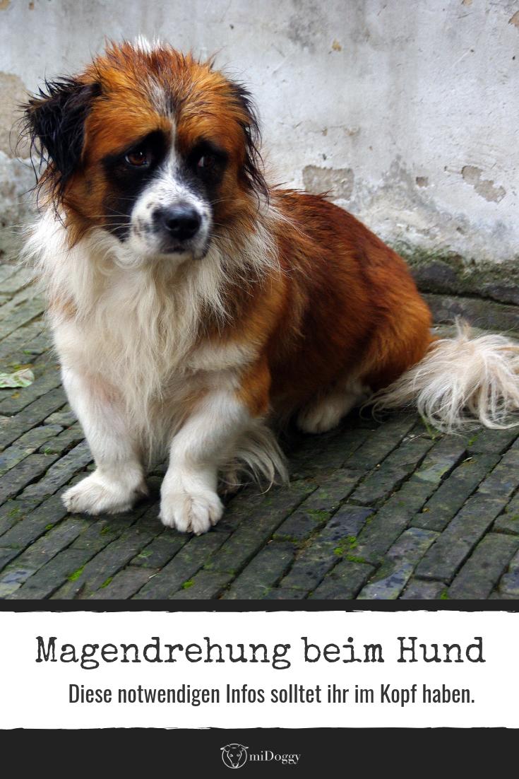 Die Magendrehung Beim Hund Hunde Gesunde Hunde Tierschutz Hunde