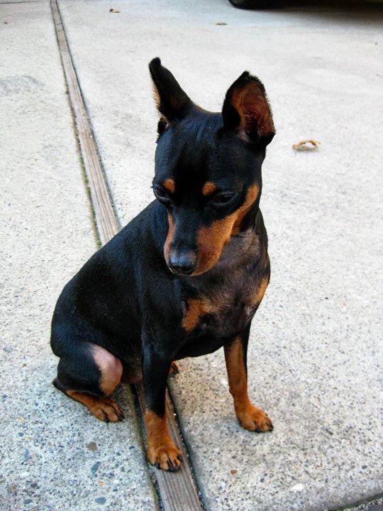 My Dog Riley Looking Somber Miniature Pinscher Mini Pinscher