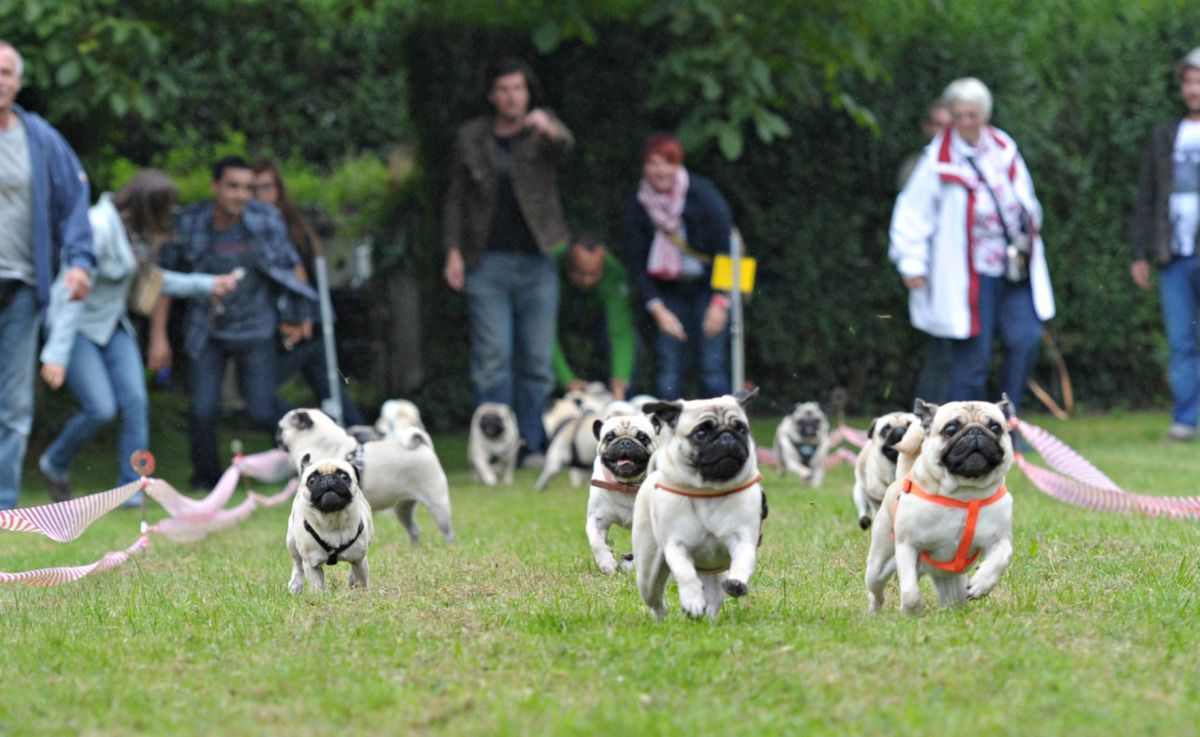 In It To Win It German Pug Races Pugs Cute Pugs Happy Pug