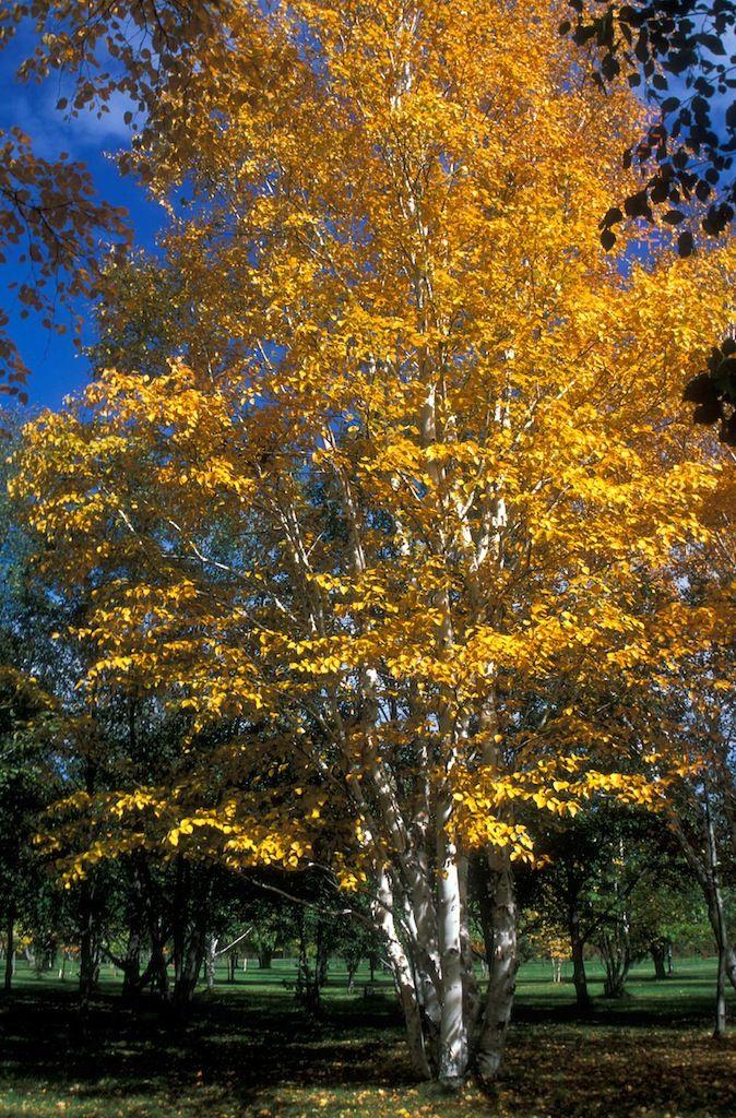 paper birch year