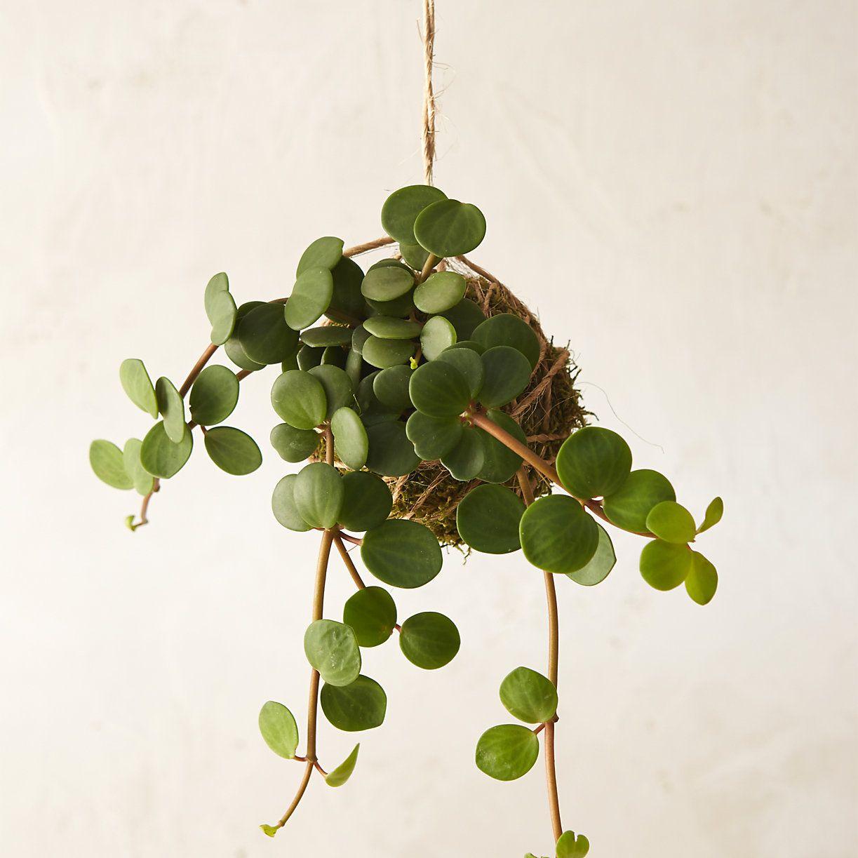 Coole Zimmerpflanzen peperomia string garden pflanzen minimalismus und hof