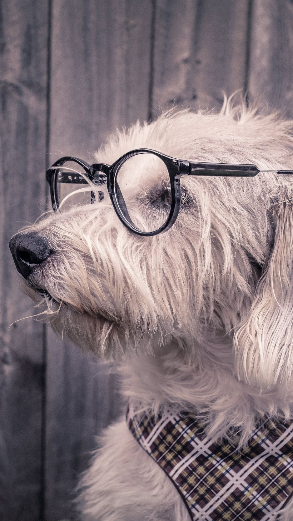 Dog Glasses Scarf Wallpaper Background Iphone Dog With Glasses Dog Wallpaper Iphone Dog Wallpaper