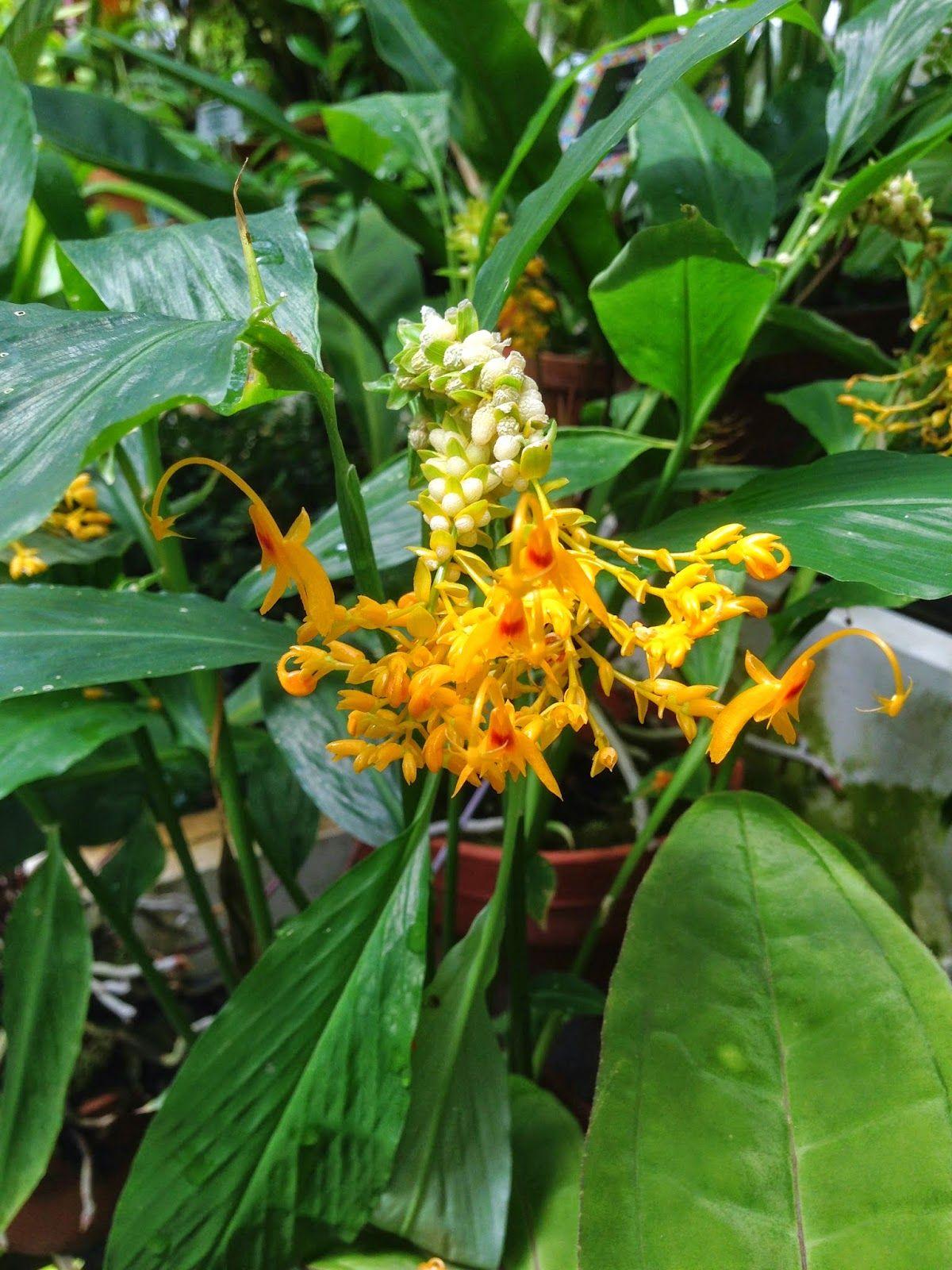 Globba schomburgkii (Dancing Girl Ginger) Plants, Flowers