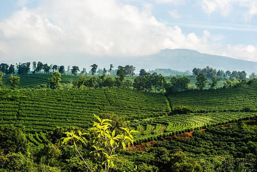 Java Organic Kayumas Taman Dadar 16oz Costa rica coffee