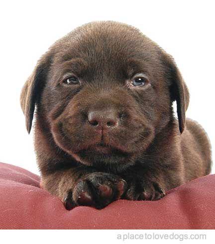 Beautiful Chocolate Brown Adorable Dog - 2fc289b3b3b8e2cd6729f39c8bac67c5  Pictures_926110  .jpg
