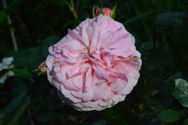 Ilta  ruusu  Mary Ann