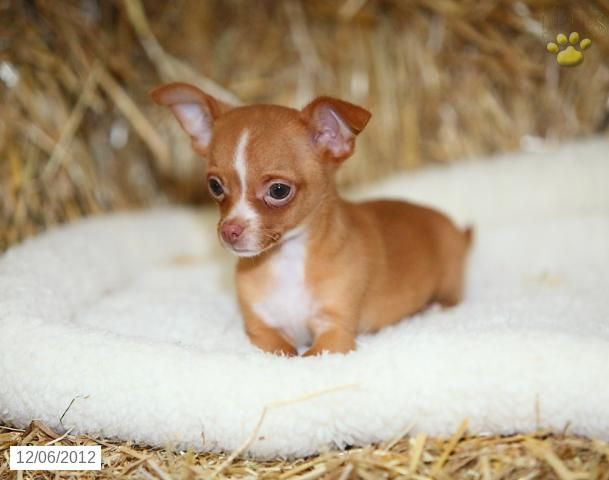 Jasper Chihuahua Puppy For Sale In Paradise Pa Chihuahua