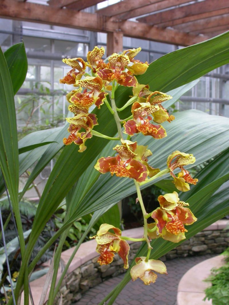 Rudolfiella floribunda orchid passion pinterest orchids