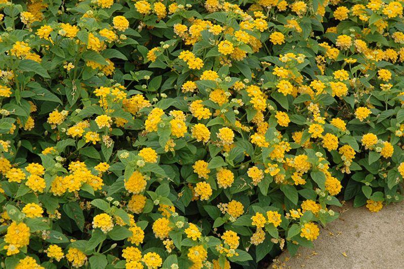 Yellow Lantana Lantana Plant Lantana Yellow Lantana