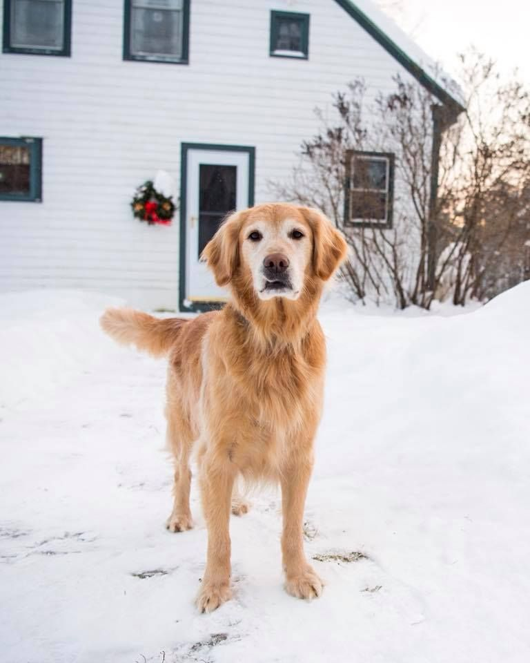 Golden Retriever Puppies Middlebury Vt References