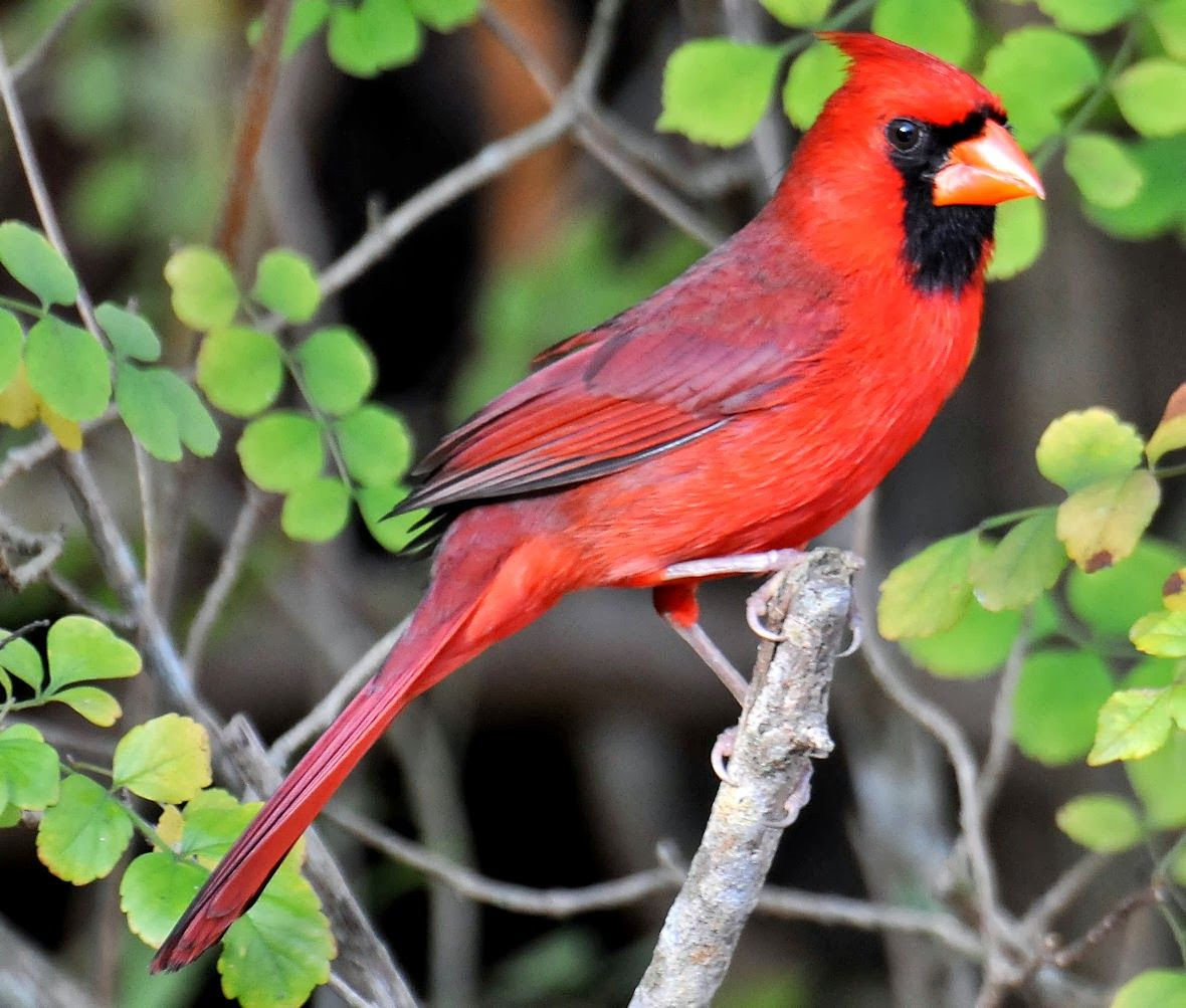 red colored birds of north america - HD1180×1003