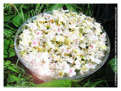 White Chestnut Bach Flower Remedy For Incessant Intrusive And