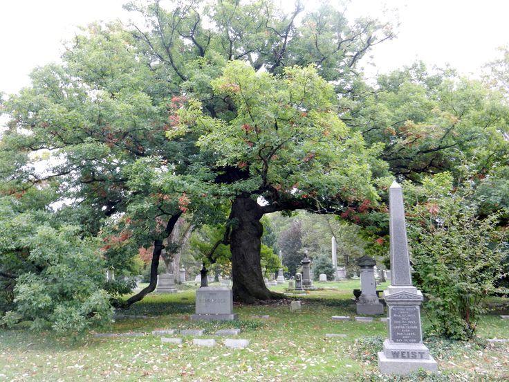 350 year old white oak in Spring Grove Cemetery in