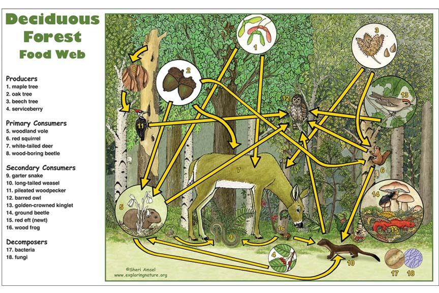 Deciduous Forest Food Web Activity Food web, Food web