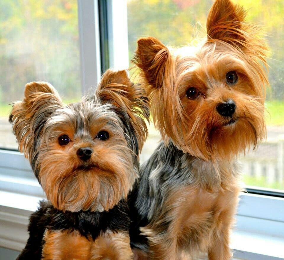 Perros Yorkshire, Perros Cachorros