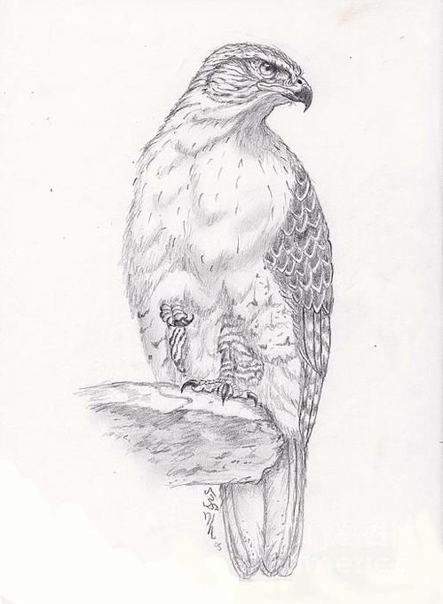 Red Tail Hawk Print By William Heflin Bird Drawings Drawings