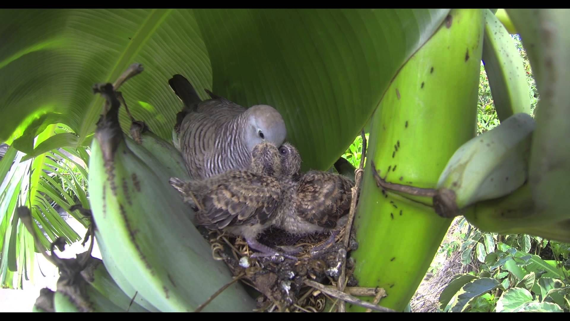 Zebra Dove Nest 2013 Dove Nest Nest Zebra