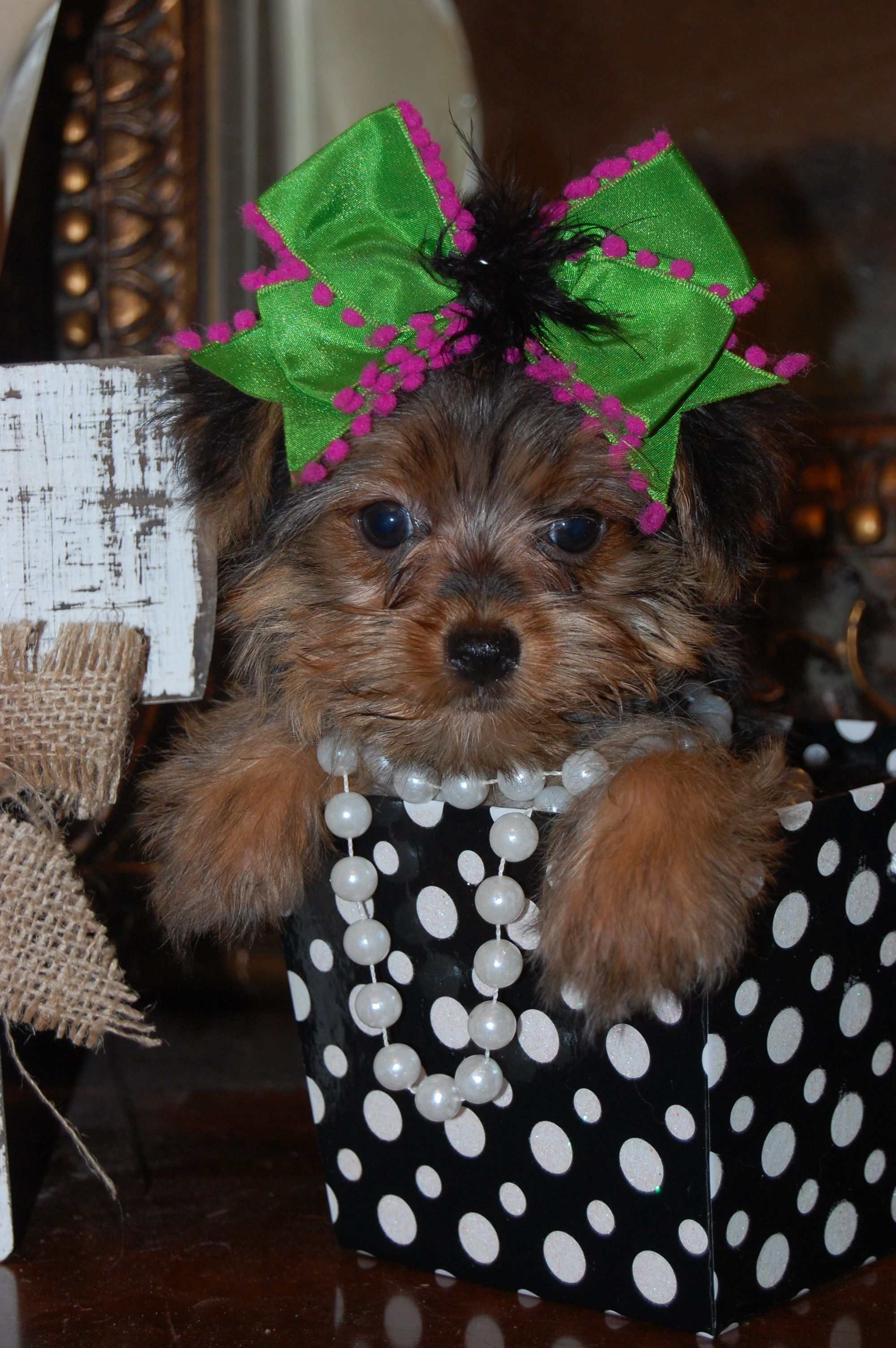 Tiny Tasha Ready To Meet Her New Mommy Or Daddy 700 00 Ckc Reg Yorkshire Terrier Puppy Www Toysa Yorkshire Terrier Puppies Yorkshire Terrier Yorkie Puppy