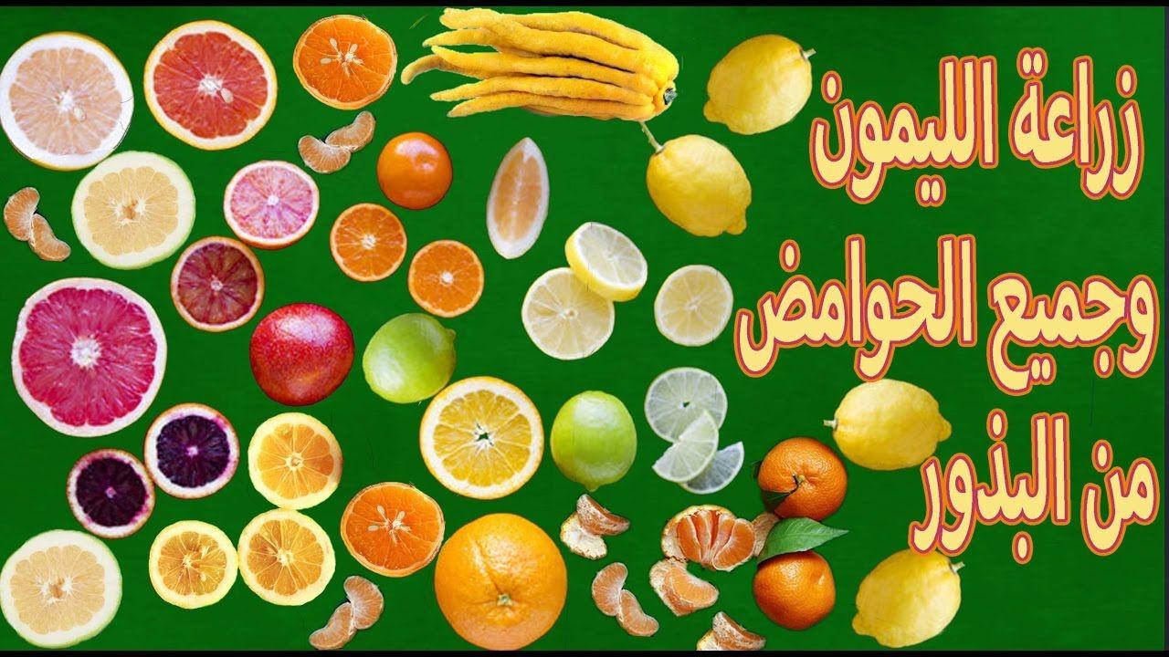 زراعة الليمون البرتقال اليوسفي الجريب فروت من البذور Growing Citrus From Seeds Growing Citrus Citrus Seeds