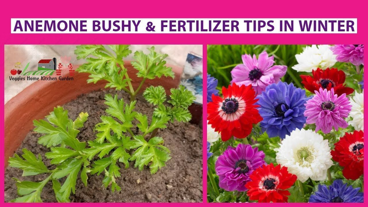How To Become Anemone Bushy Plant And Fertilizer Tips Asim Garden Anemone As Anemone Asim Bushy Fertilizer Gardenanemone In 2020 Plants Fertilizer Anemone