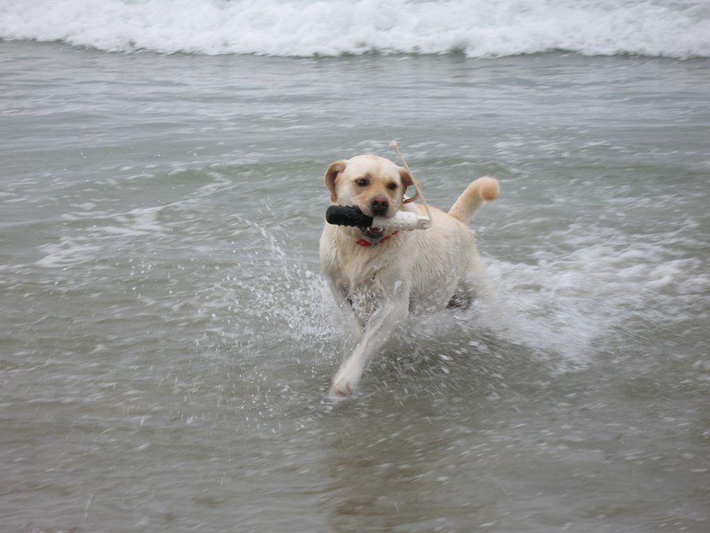 Zuma in her element Labrador retriever, Labrador, Dogs