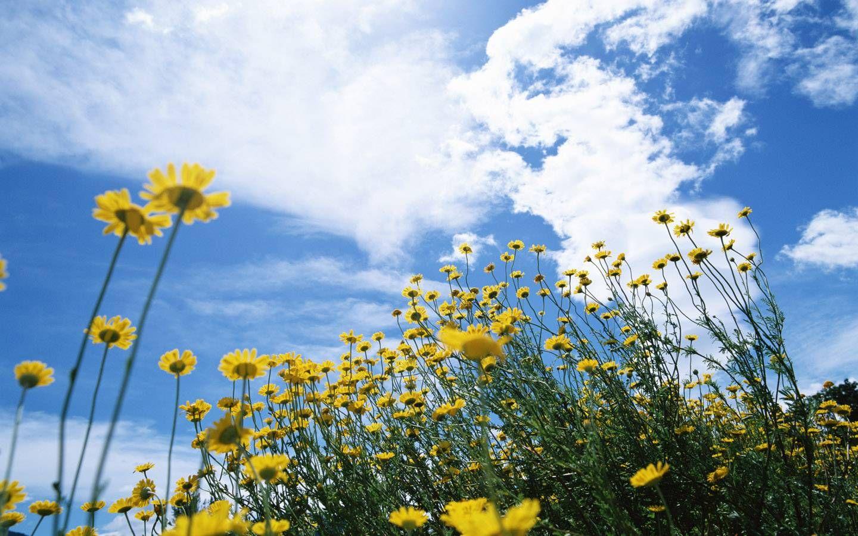 Lindo paisaje con margaritas amarillas.