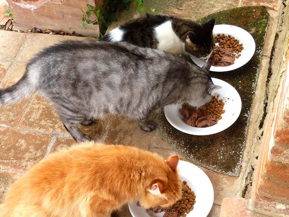 A rare moment of quiet harmony as Jack (he's the orange one), Max (the big boss in the middle) and Joe (the feisty runt except that nobody has told him he's the runt!) chow down here in Tuscany.
