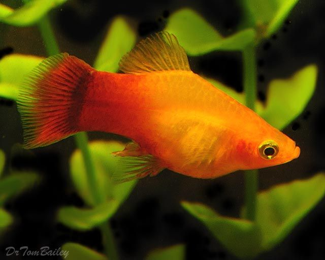 Platy Tropical Fish Freshwater Google Search Platy Fish