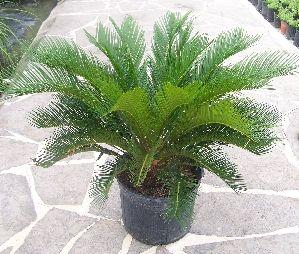 Sago Palm Palm Trees Landscaping Sago Palm Plants