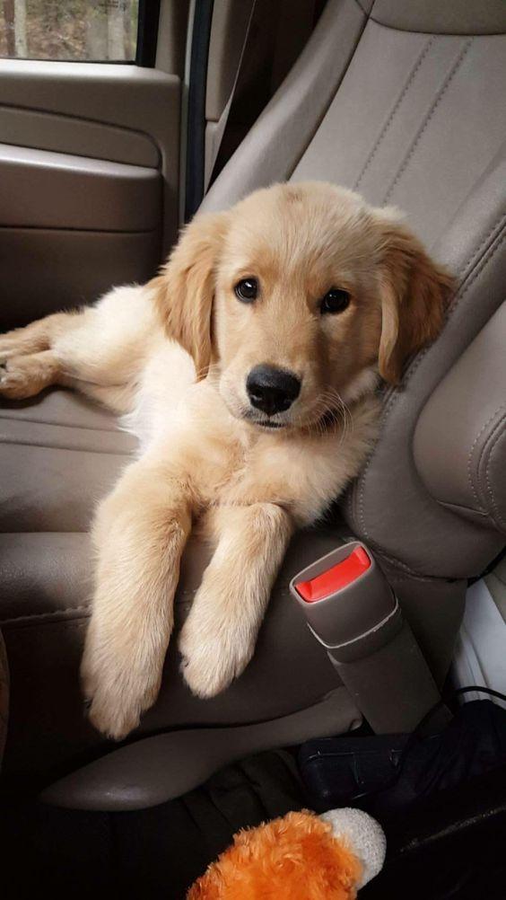 Puppy In De Auto Beste Golden Retriever Foto S Goldenretriever