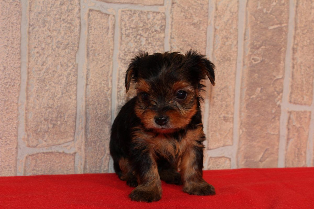 Tesa A Female Akc Yorkshire Terrier Puppy For Sale In Nappanee In Find Cute York With Images Yorkshire Terrier Dog Yorkshire Terrier Puppies Yorkshire Terrier Breeders