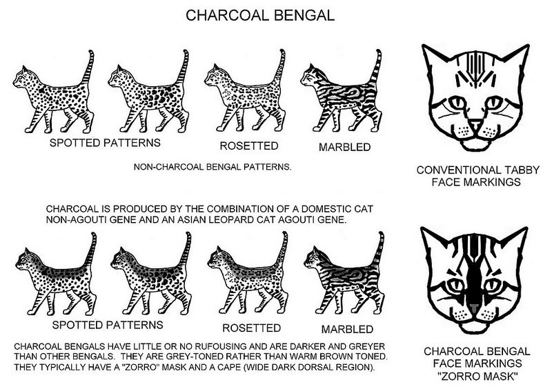 Charcoal Pattern Bengal Cat Colors Cat Breeds Chart Feline Anatomy
