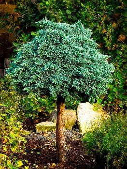Juniper Trees Online The Tree Center