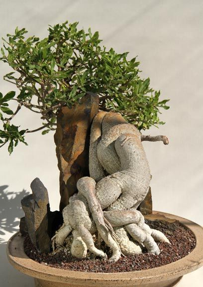 Rare succulents fockea edulis appropriate name totally for Rare bonsai species